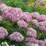 Hydrangea arborescens Incrediball® Blush