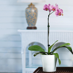 Pink Moth Orchid in 5
