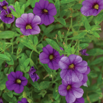 Calibrachoa Cabaret® Deep Blue