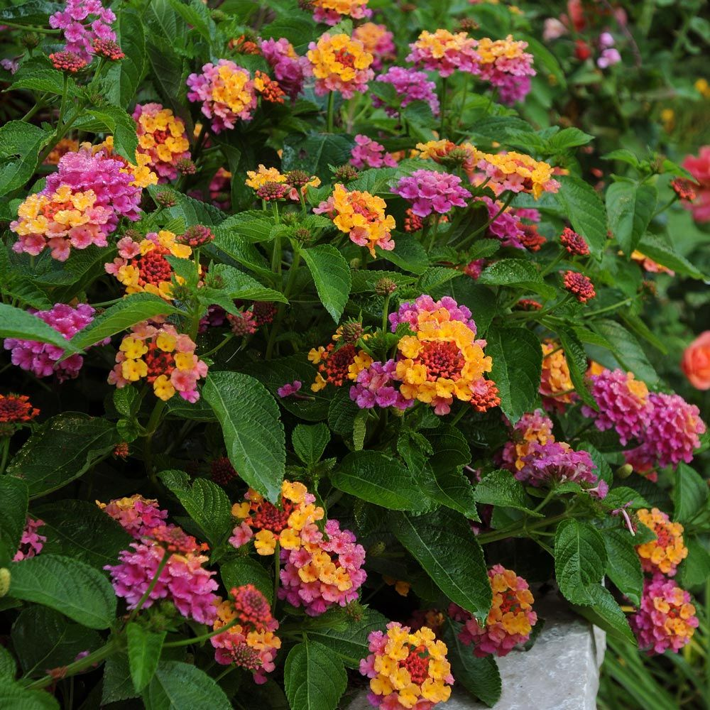Lantana Landmark™ Rose Sunrise