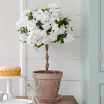 White Azalea Topiary in gray clay pot and saucer
