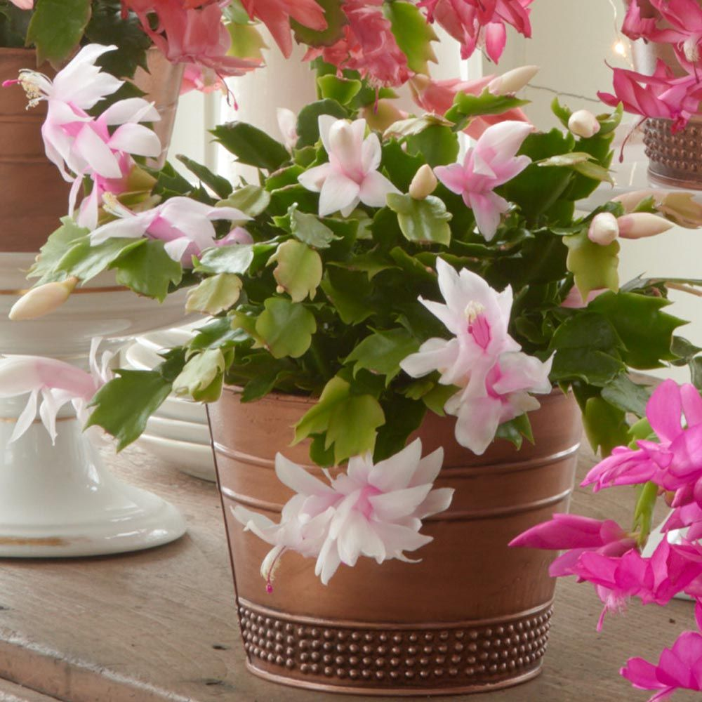 Blush Holiday Cactus in copper-toned cachepot