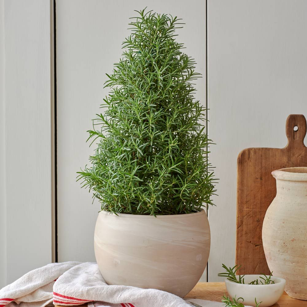 Fragrant Rosemary Tree in ceramic cachepot