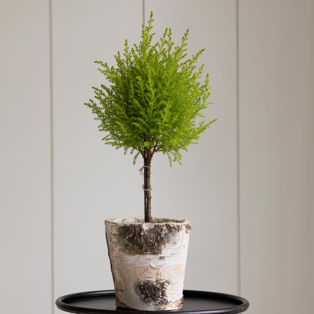 Lemon Cypress Topiary in 5