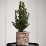 Dwarf Alberta Spruce Tree in 4