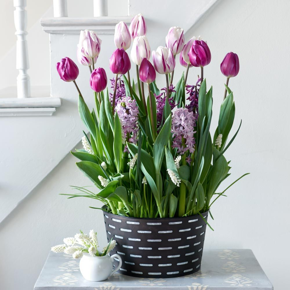 Purple Elegance Bulb Collection, 40 bulbs in black metal cachepot