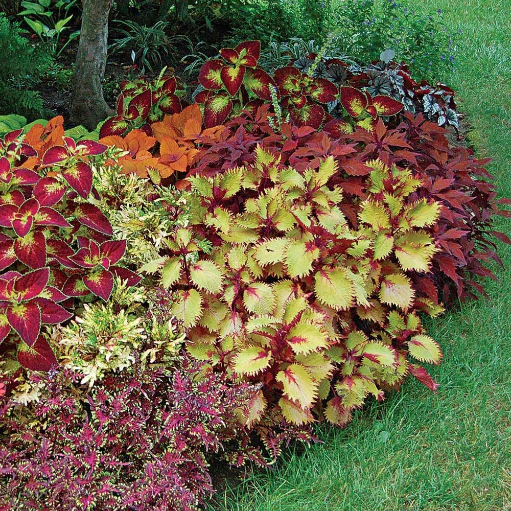 Coleus Tapestry Annual Collection