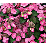 Hydrangeas by Category