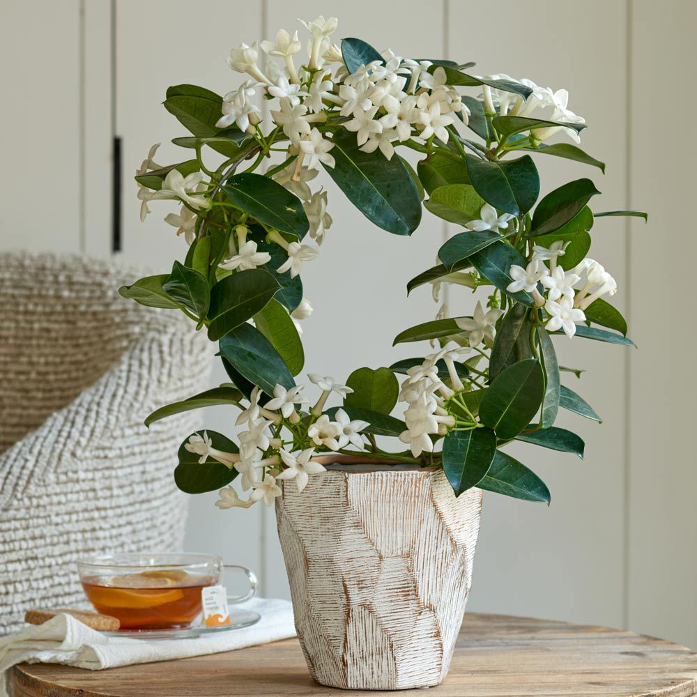 Stephanotis in 5