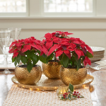 Trio of Princettia® Poinsettias in golden cachepots