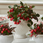 Wintergreen in Dotted Cachepot, large