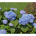 Hydrangea macrophylla Nantucket Blue™
