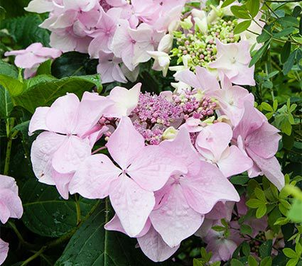Hydrangea macrophylla Let's Dance® Diva! - 1 gallon pot
