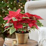 Poinsettia Tapestry in golden cachepot