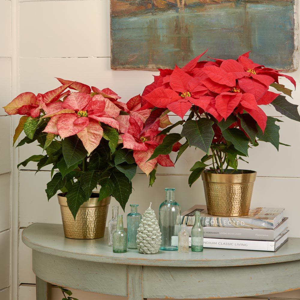 Festive Poinsettia Duo in golden cachepots
