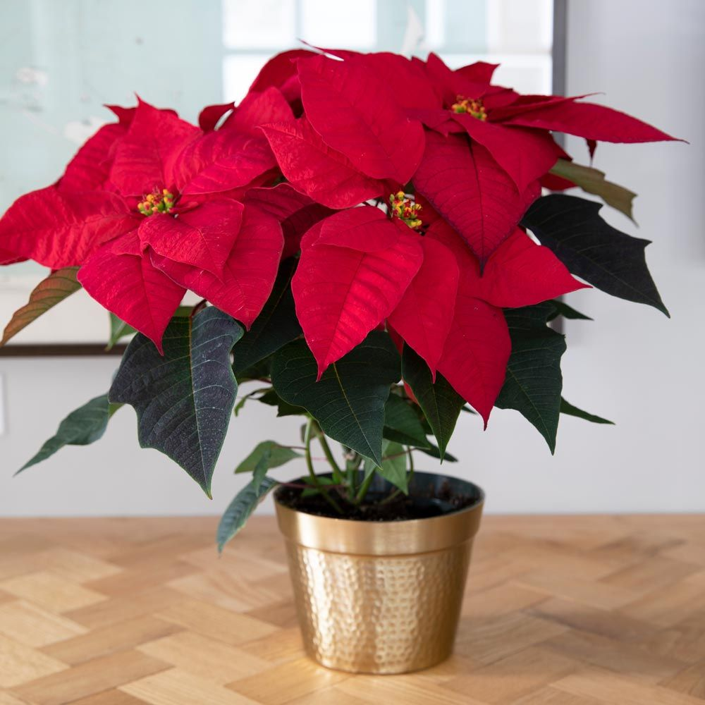 Poinsettia Christmas Wish™ in golden cachepot