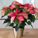 Poinsettia Premium Picasso in golden cachepot