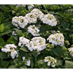Hydrangea macrophylla 'Wedding Gown'