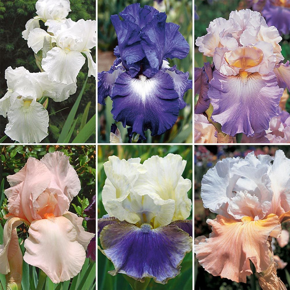 Reblooming Tall Bearded Iris Collection