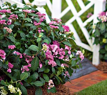 Hydrangea macrophylla Twist-n-Shout®