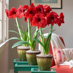 Red Amaryllis - Standard Shipping Included