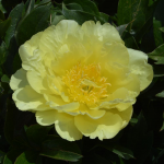 Peony 'Yellow Doodle Dandy' - Itoh Peony