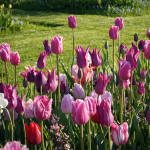 Longwood Elegant Pink Bulb Collection