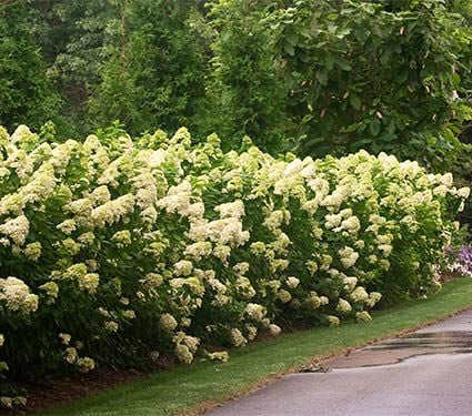 hydrangea paniculata limelight white flower farm. Black Bedroom Furniture Sets. Home Design Ideas