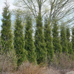 Thuja occidentalis 'American Pillar'