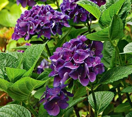 Hydrangeas For Small Spaces