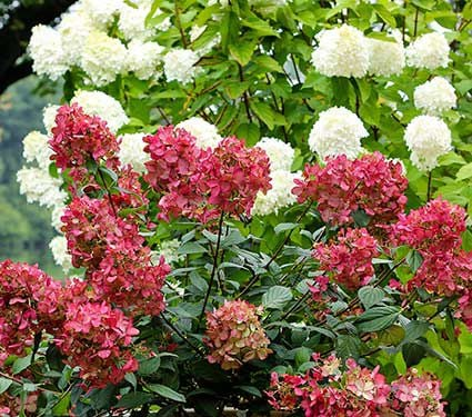 Hydrangea paniculata Fire Light®