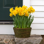 Narcissus 'Queen's Day,' Ready-to-Bloom Basket