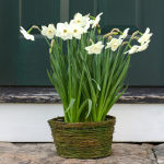 Narcissus 'Stainless,' Ready-to-Bloom Basket