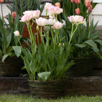 Tulip 'Angelique,' Ready-to-Bloom Basket