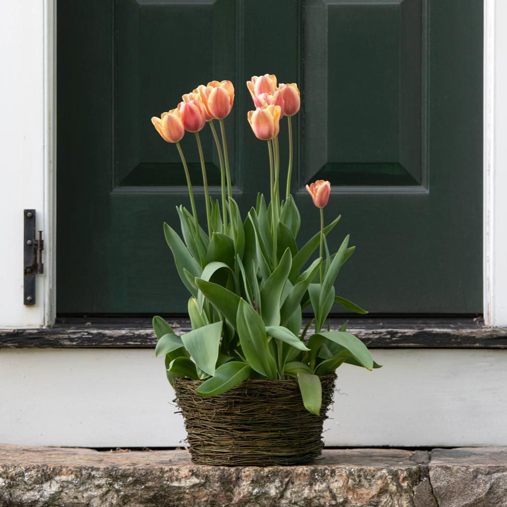 Tulip 'Apricot Beauty,' Ready-to-Bloom Basket