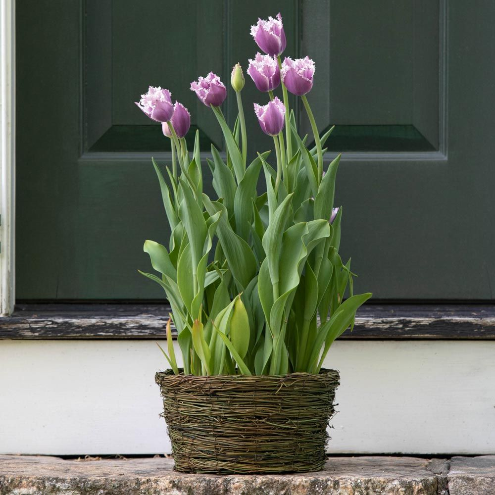 Tulip 'Cummins,' Ready-to-Bloom Basket