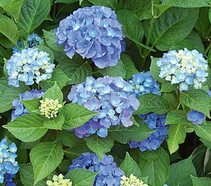 hydrangea endless summer hydrangea macrophylla endless summer 174 white flower farm 28837