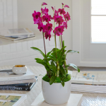 Deep Pink Dendrobium Orchids in ceramic cachepot