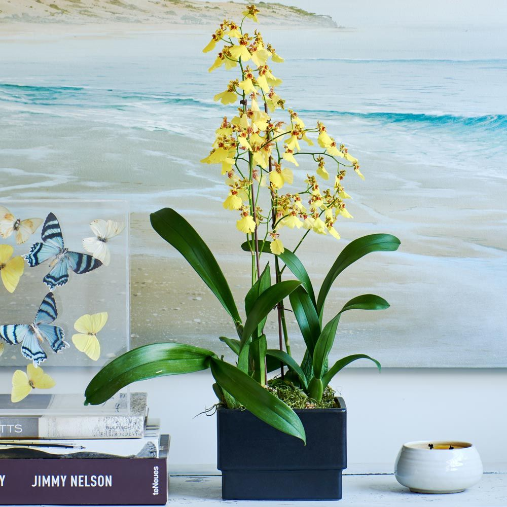 Sweet Sugar Oncidium Orchid in ceramic cachepot