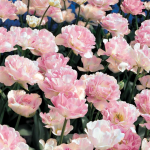 Best-Selling Tulips