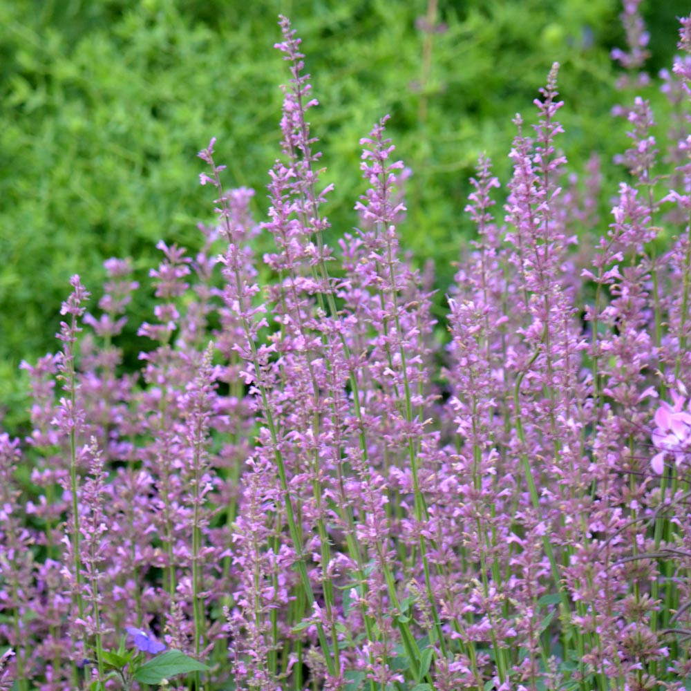 Agastache 'Rose Mint'