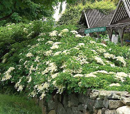 hydrangea anomala petiolaris white flower farm. Black Bedroom Furniture Sets. Home Design Ideas