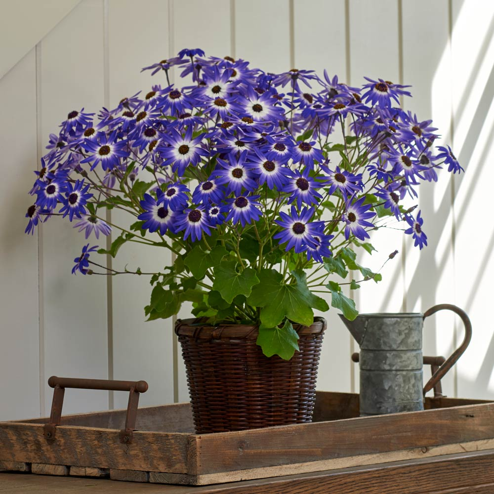 Cineraria Senetti® Blue Bicolor in woven basket