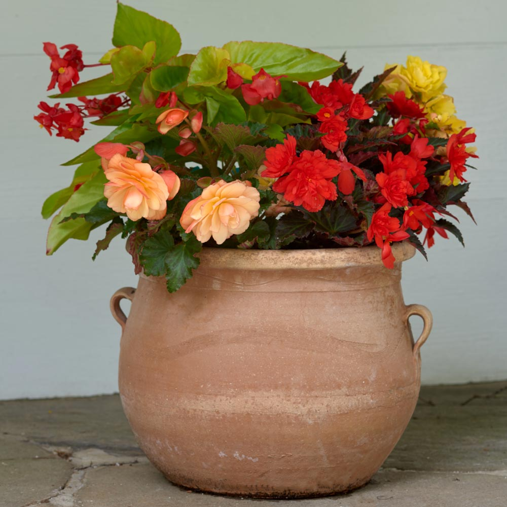 Tropical Brights Begonia Annual Collection