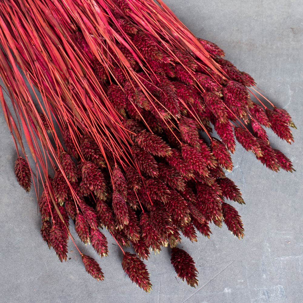 Burgundy Canary Grass Stems