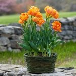 Tulip 'Orca,' Ready-to-Bloom Basket