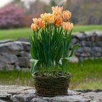 Tulip 'Foxy Foxtrot,' Ready-to-Bloom Basket
