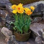Tulip 'Monsella,' Ready-to-Bloom Basket