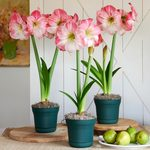Pink Amaryllis in Nursery Pots to 3 Different Addresses - Standard Shipping Included