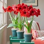 Red Amaryllis in Nursery Pots to 3 Different Addresses - Standard Shipping Included